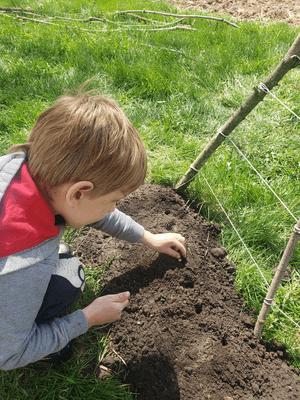 Jeune garçon qui plante des pois